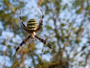 la araña-animales totémicos