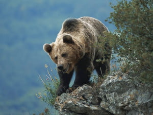 el oso-animales totémicos
