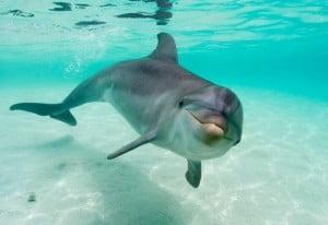 el delfín-animales totémicos