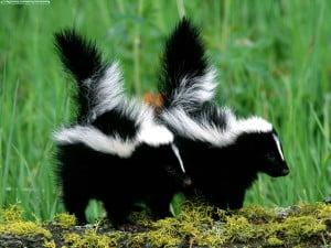 la mofeta-animales totémicos