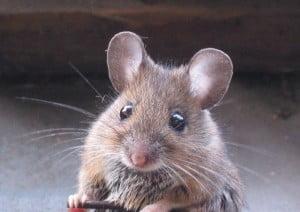 el ratón-animales totémicos