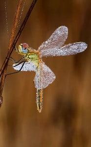 libélula-animales tottémicos