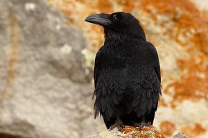 el cuervo-animales totémicos