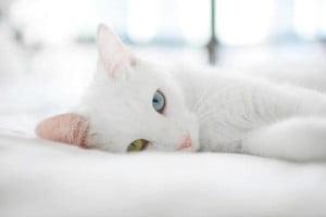 el gato-animales totémicos