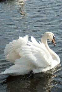 el cisne-animales totémicos