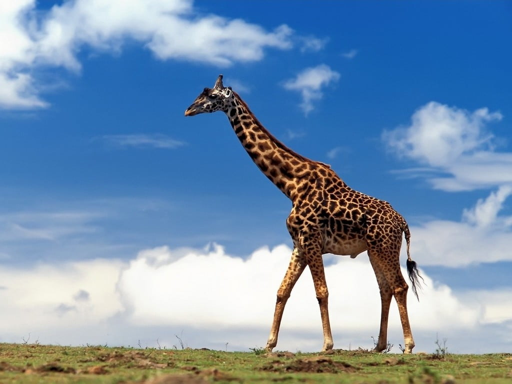 la Jirafa-animales totémicos
