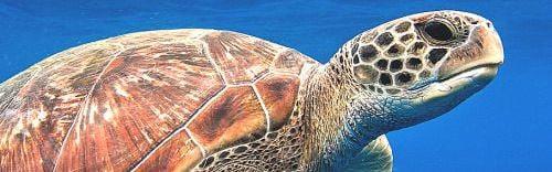 tortuga-rectangulo