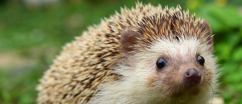 erizo-Hedgehog in garden (3)