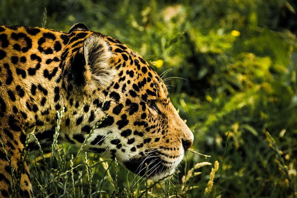 jaguar-1807171_960_720
