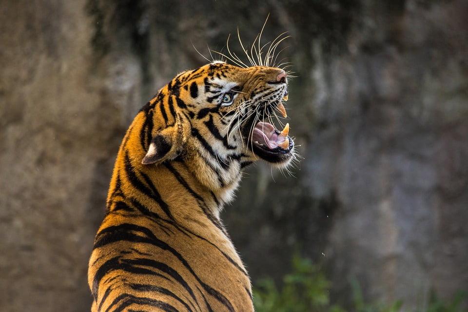 tiger-3264048_960_720