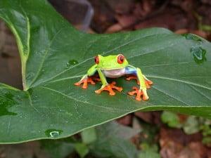 la rana-animales totémicos