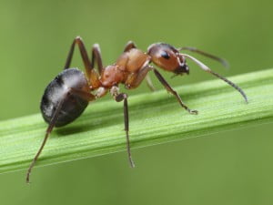 la hormiga-animales totémicos