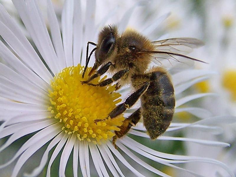 La abeja