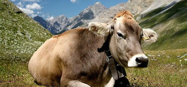 La Vaca y el Toro