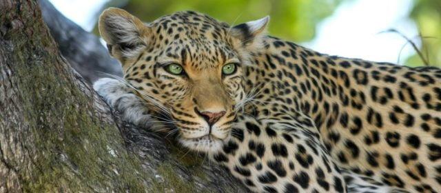 Leopardo y Pantera
