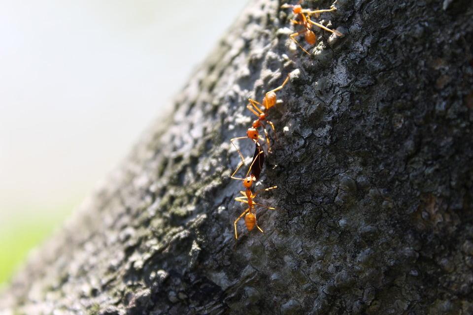 hormiga-ant-2634259_960_720