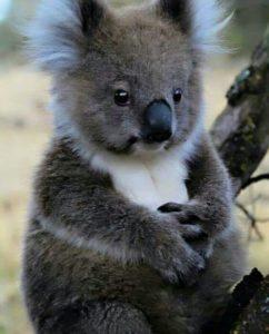 Incendios en Australia: significado espiritual del Koala y el Canguro