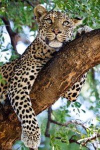 totem leopardo animal de poder