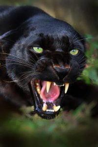 totem pantera leopardo animal de poder